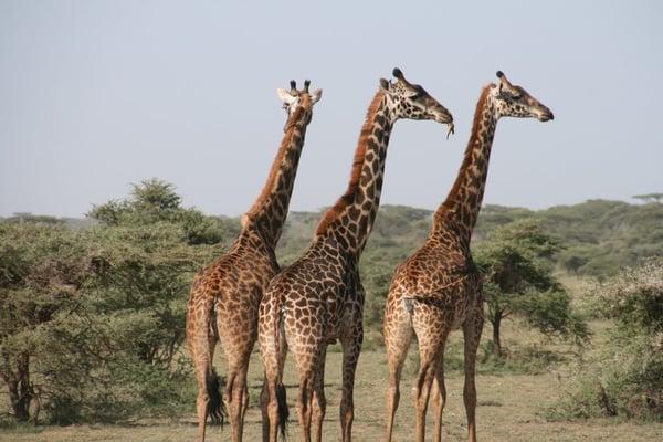 Giraffe-potential-social-size-example-1024x683